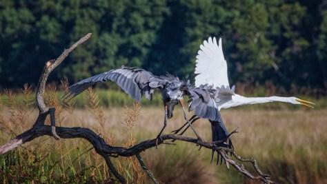 Disagreement, Egret And Heron