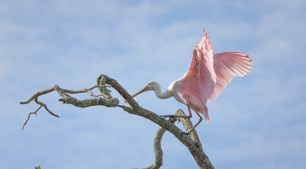 King Of The Hill, Spoonbill