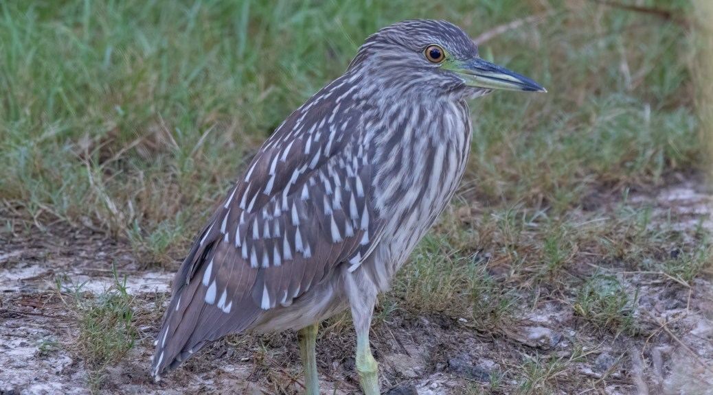 They Have Discovered Fiddler Crabs, Night Heron