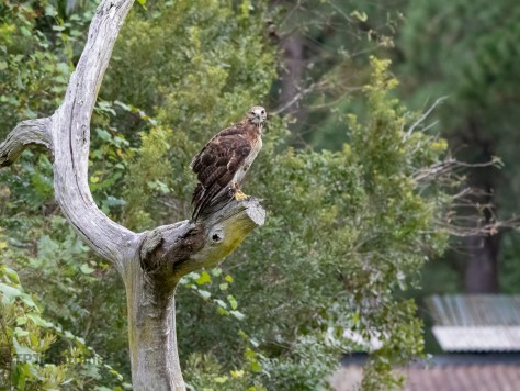 Red-tailed Hawk Rescue, Avian Conservation Center
