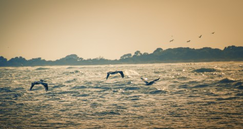 Back To Bird Key, Pelican