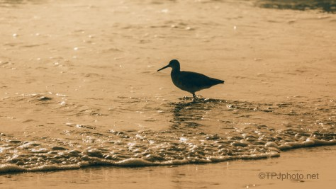 Late Day Willet