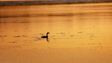 Marsh Birds, Early Morning Light