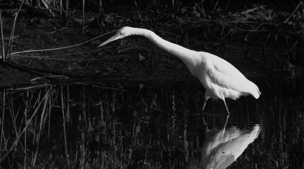 Great Egret, Black And White