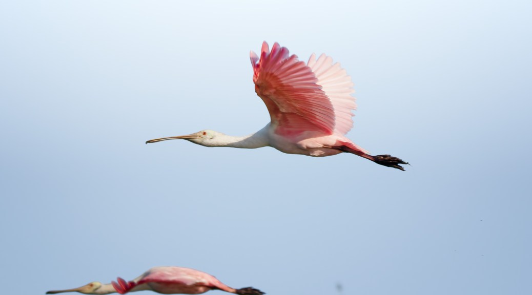 Where Did They Come From, Spoonbill