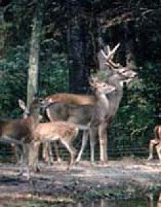 White tail deer also tpwd the rut in tailed rh texas
