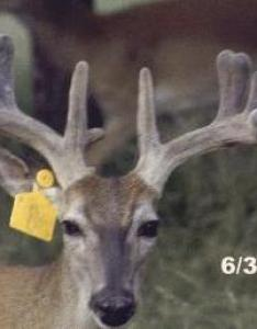 Whitetail buck also white tailed deer stages of antler development rh tpwd texas