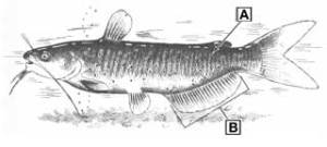 Catfish Comparison and Identification — Texas Parks