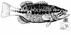 Bass Comparison and Identification — Texas Parks