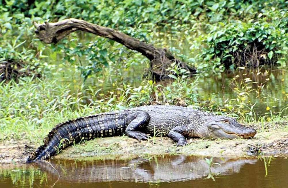 medium resolution of 2018 2019 alligator seasons regulations