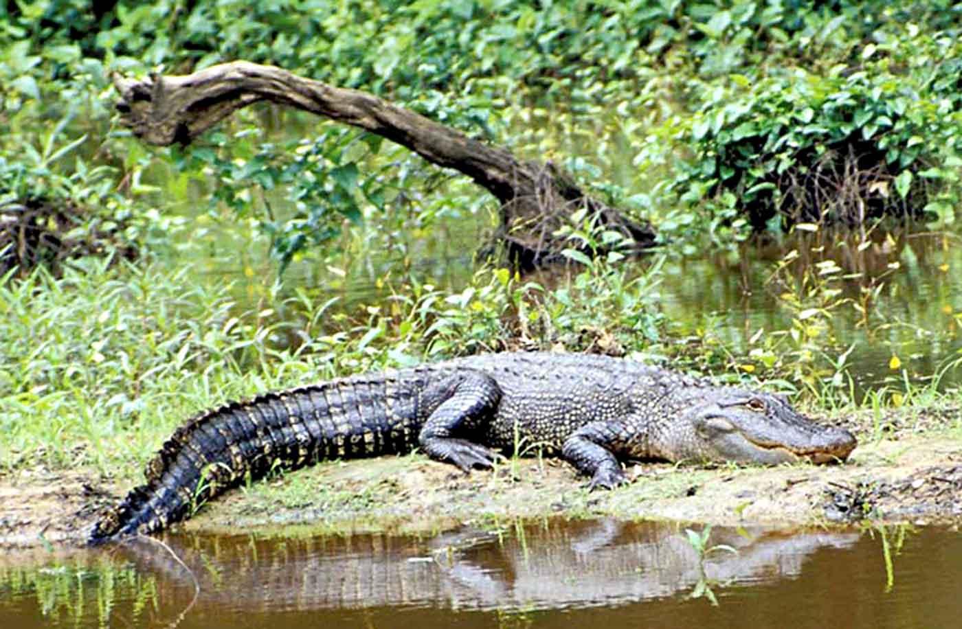 hight resolution of 2018 2019 alligator seasons regulations