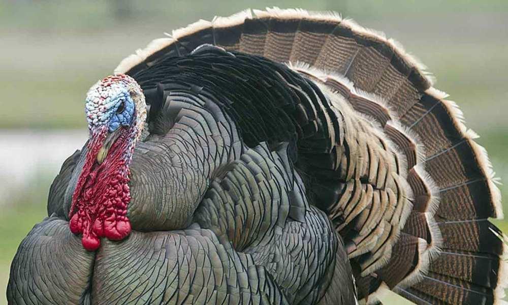 medium resolution of 2018 2019 turkey seasons regulations