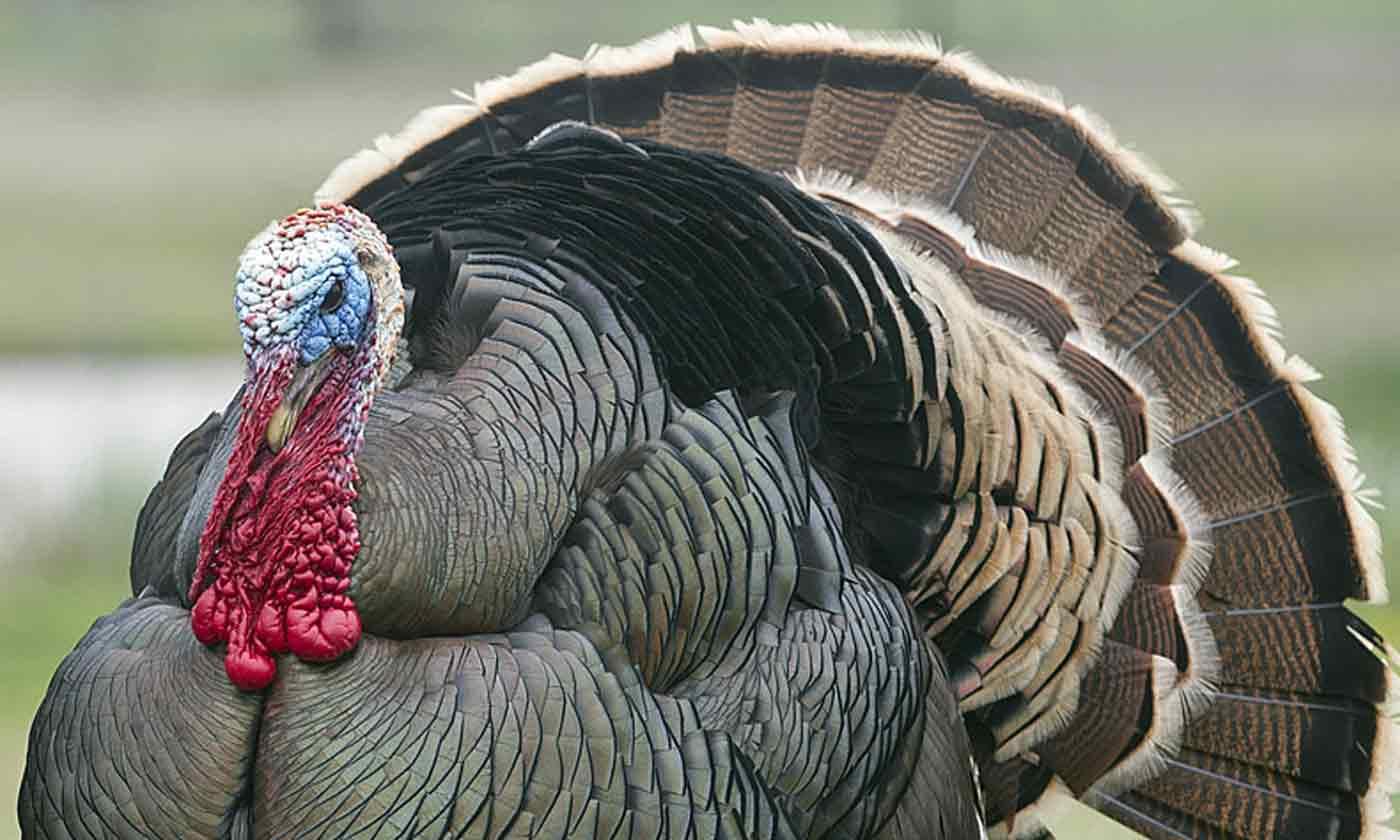 hight resolution of 2018 2019 turkey seasons regulations