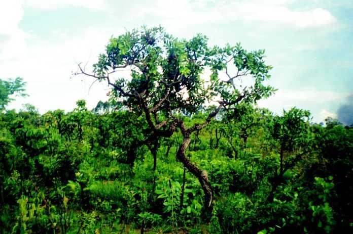 http://meioambiente.culturamix.com/blog/wp-content/gallery/flora-da-regiao-centro-oeste-brasileira/flora-da-regiao-centro-oeste-brasileira-2.jpg