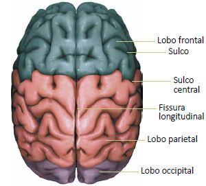 Figura detalhando os hemisférios cerebrais.