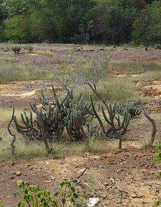 A vegetação da Caatinga é decidual, com muitas cactáceas e pequenos arbustos.