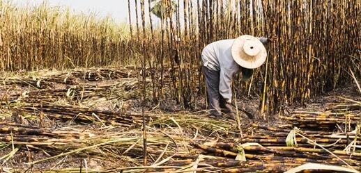 Dia dos Cortadores de Cana-de-açúcar: conheça os 8 riscos que afetam esta profissão
