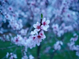 April - Peach blossoms, Ludlow, MA