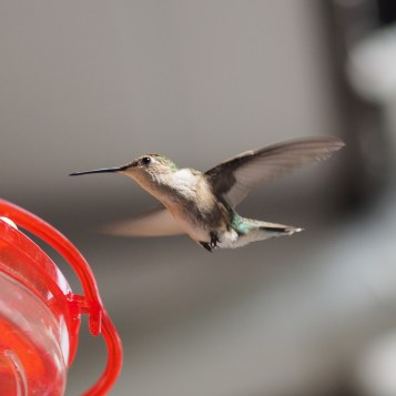 Hummingbird — copyright Trace Meek