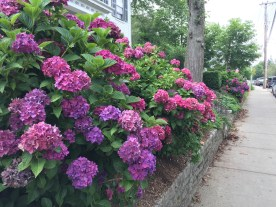Vineyard Haven Hydrangeas — copyright Trace Meek
