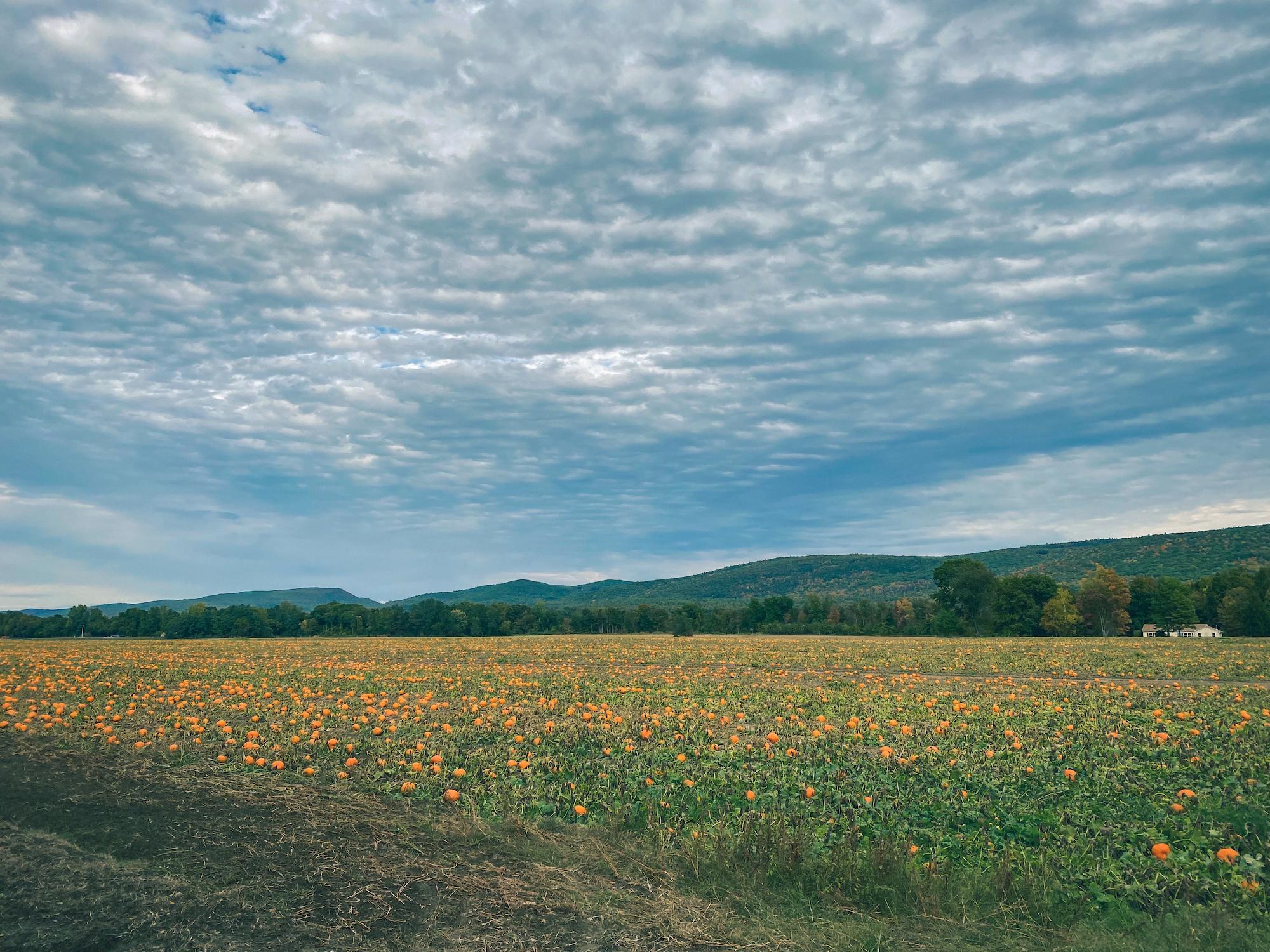 Pumpkin Field, Gill, MA