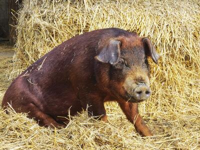 Wilbur the duroc