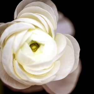 White Ranunculus Flower on a Black Background Tracey Capone
