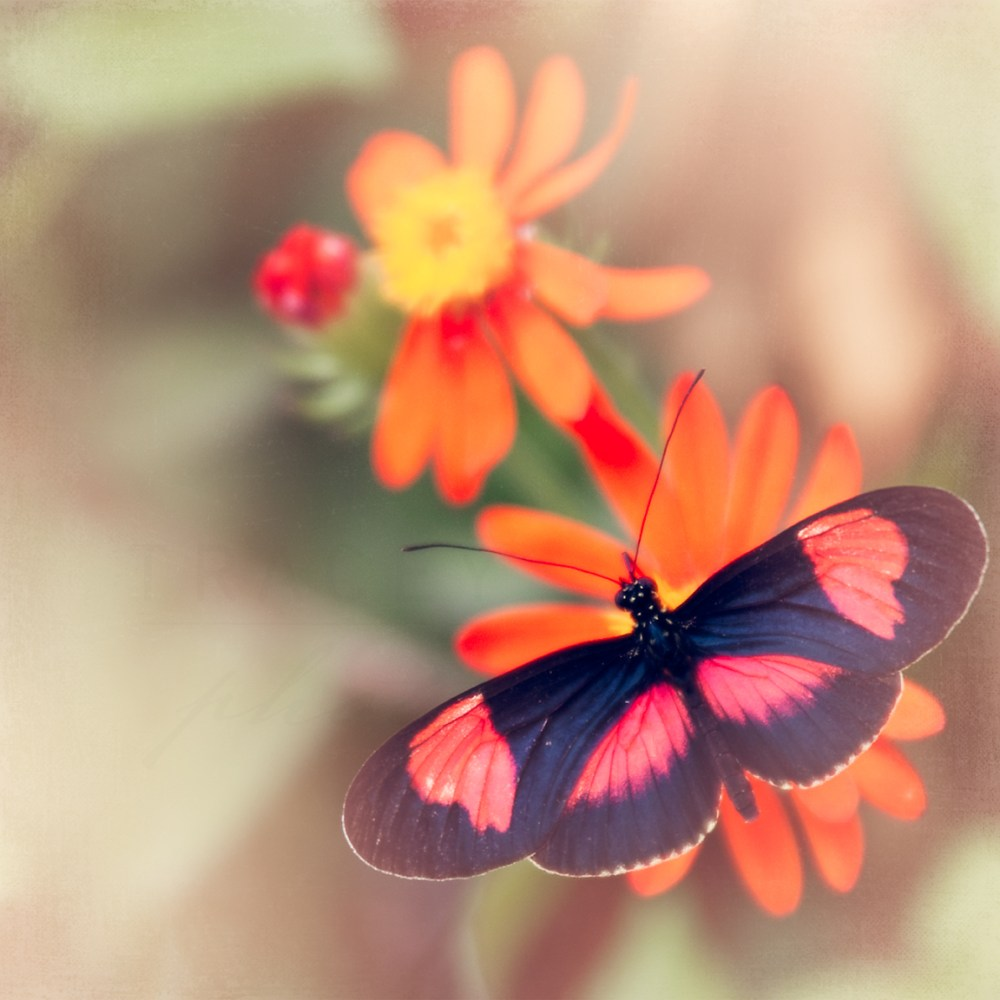 Photograph of a pink and black butterfly on an orange flower