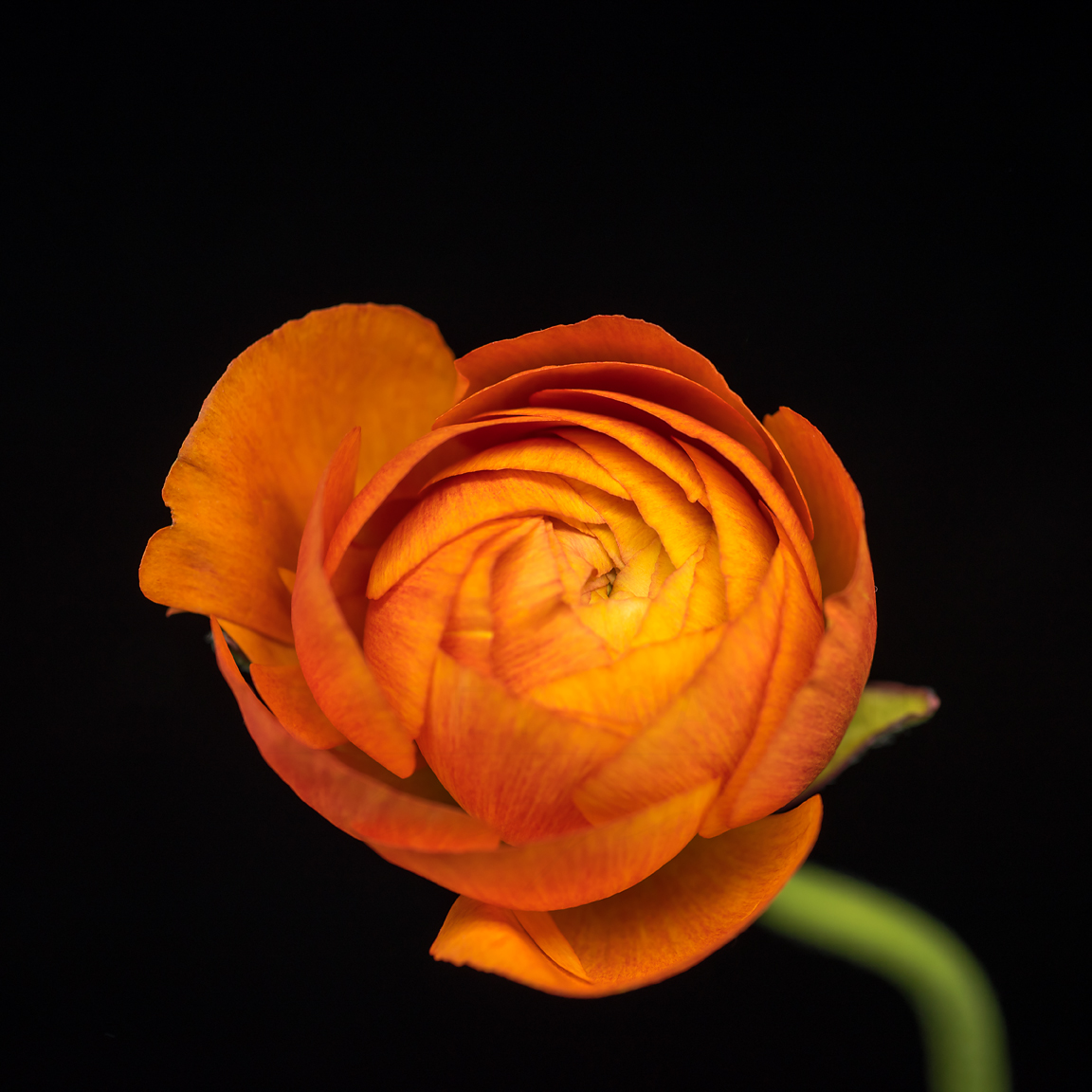 Photograph of a single orange ranunculus with a bright green stem by Tracey Capone