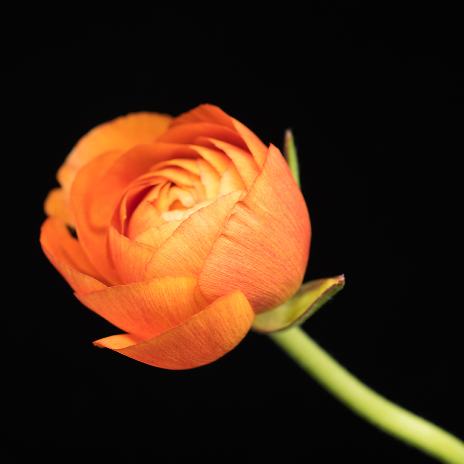 Orange-Ranunculus-No-4