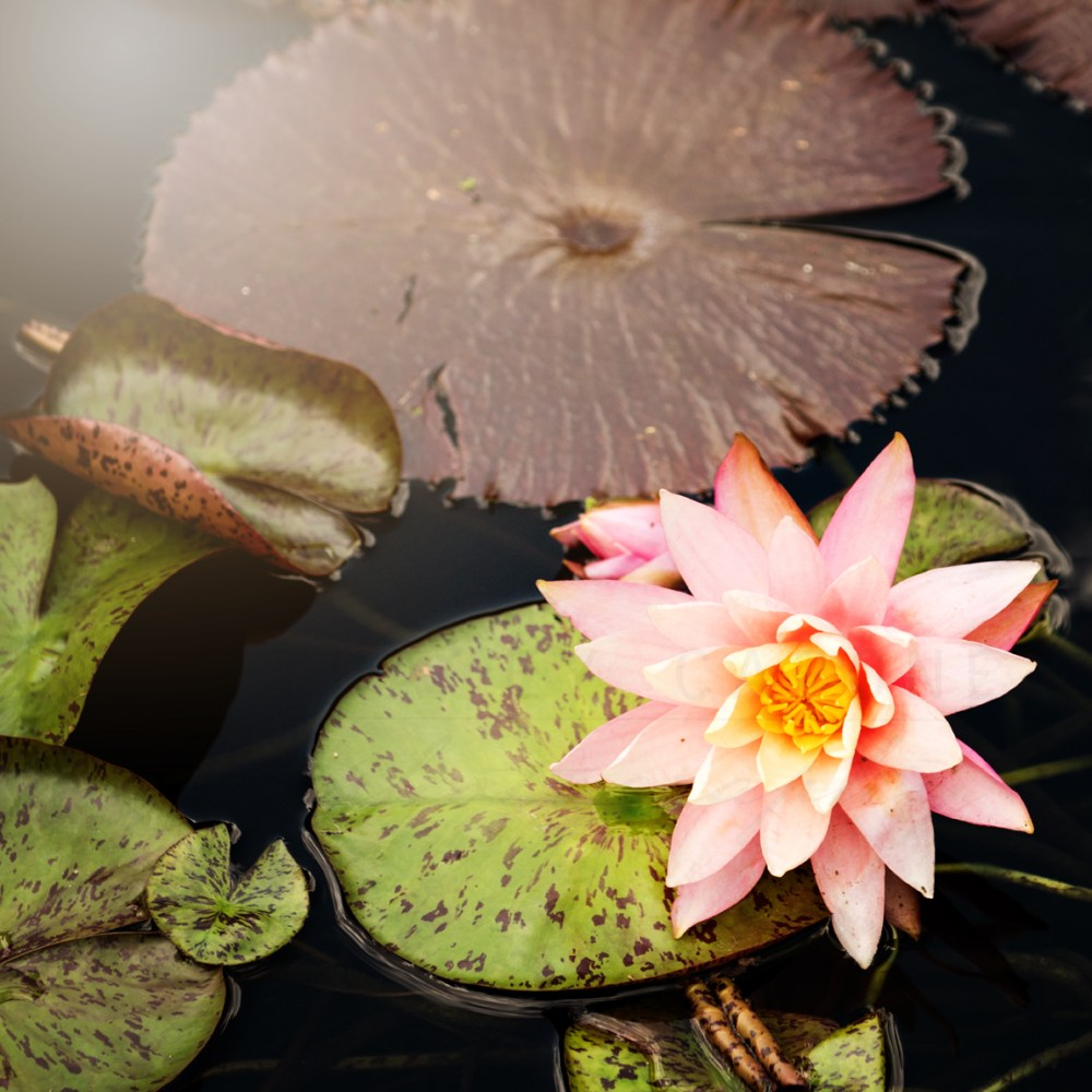 Photograph of a light pink lotus flower on a bright green lily pad.