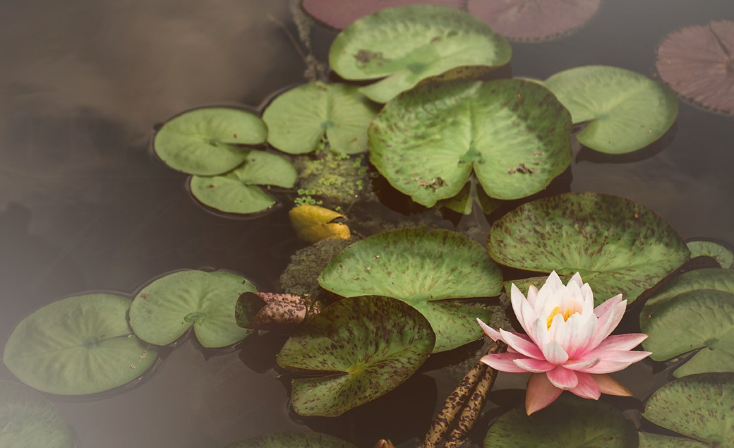 Photograph of a pink lotus flower and dark green lily pads