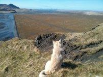 Hekla, being the cutest Icelandic sheep dog