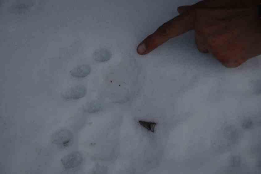 Impronte di leopardo nelle nevi in Mongolia
