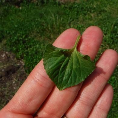 Violet Leaf (Heart-Shaped)