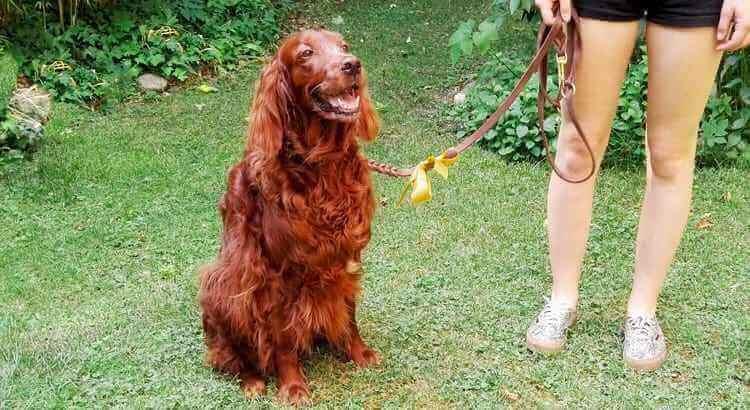 gelbe schleife am hund