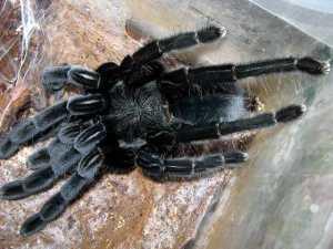 Science Nutshell tarantula