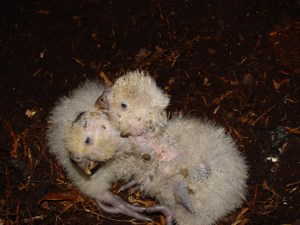 Kakapo chicks by Mike Bodie (Doc)