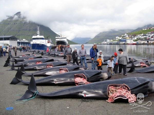 Pilot whale slaughter 2 by Sea Shepherd Peter Hammarstedt