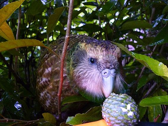 Sirocco kakapo's stardom helps save his species