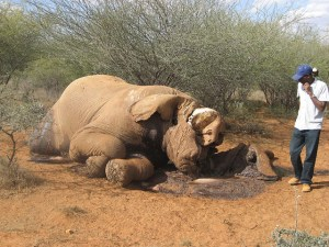 Elephant killed by poacher