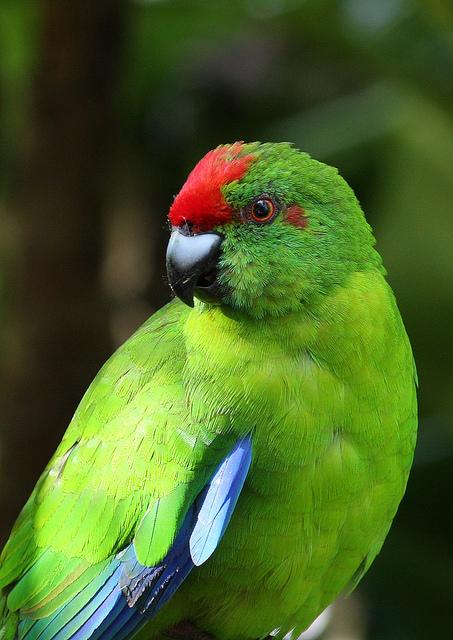 Norfolk Island green parrot by George Chapman