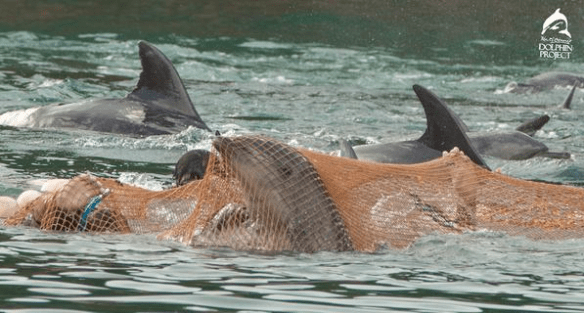Taiji dolphins trapped
