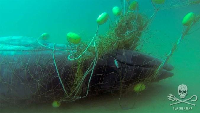 whale in shark net