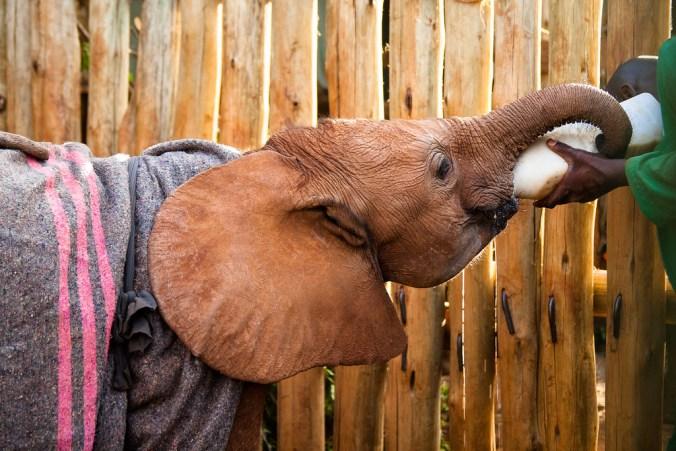 DSWT elephant orphan