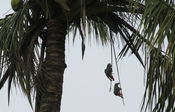 Bait birds to trap African grey parrots