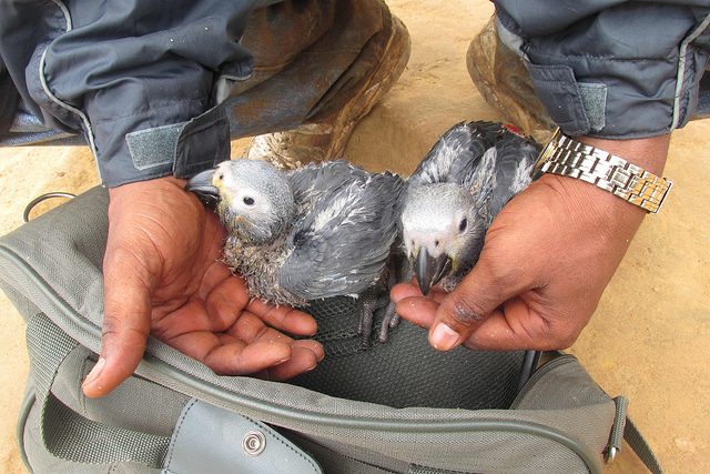 Captured African grey fledglings