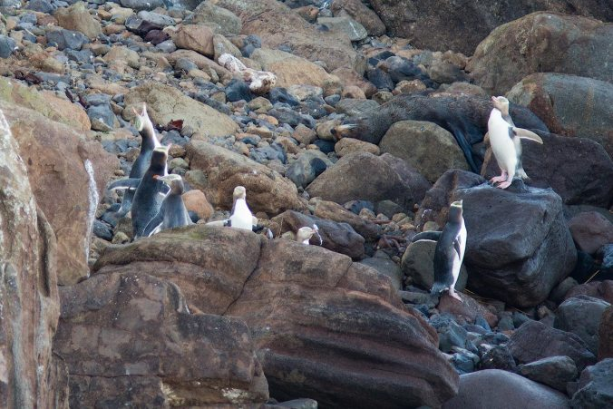 Yellow-eyed penguin on rocks