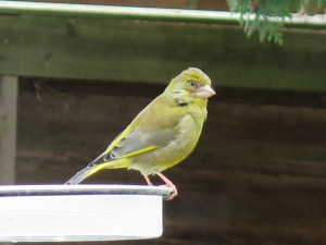 greenfinch on water dish