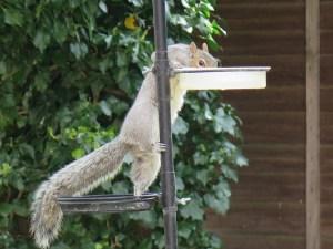 grey squirrel drinking water